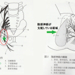 慢性前立腺炎・慢性骨盤痛症候群には陰部神経刺鍼が必須です!の詳細へ