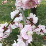しだれ梅を見に行きました!の詳細へ