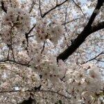 桜を見に行きました!の詳細へ